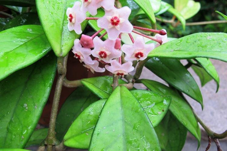 Восковой плющ Хойя - Вьющиеся комнатные цветы
