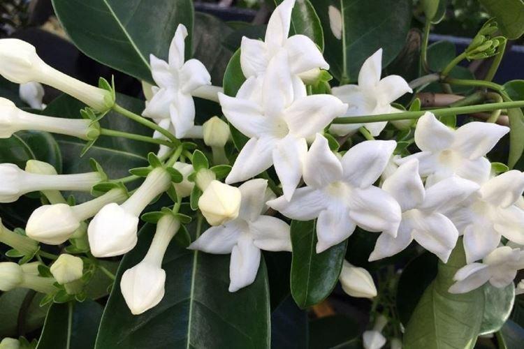 Стефанотис - Вьющиеся комнатные цветы