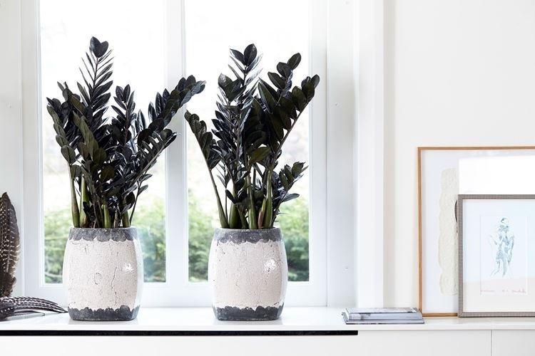 Замиокулькас - Комнатные цветы, устойчивые к засухе
