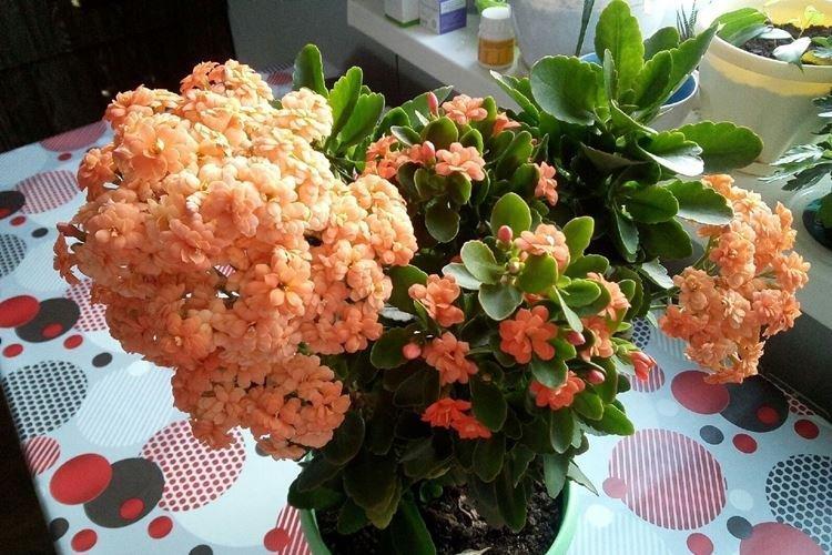 Каланхоэ Блоссфельда - Комнатные цветы, устойчивые к засухе
