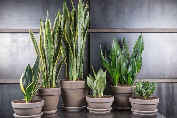 Сансевиерия - Комнатные цветы, устойчивые к засухе