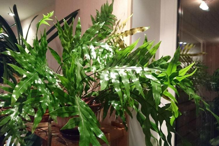 Папоротник многоножка - Комнатные цветы, устойчивые к засухе