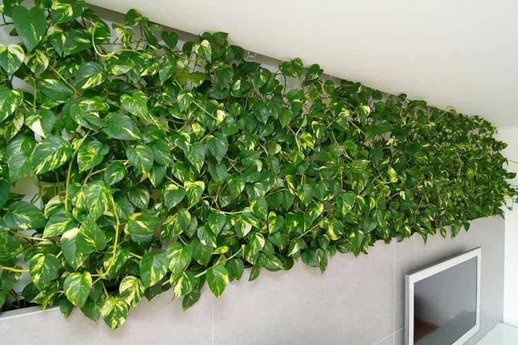 Сциндапсус - Комнатные цветы, устойчивые к засухе