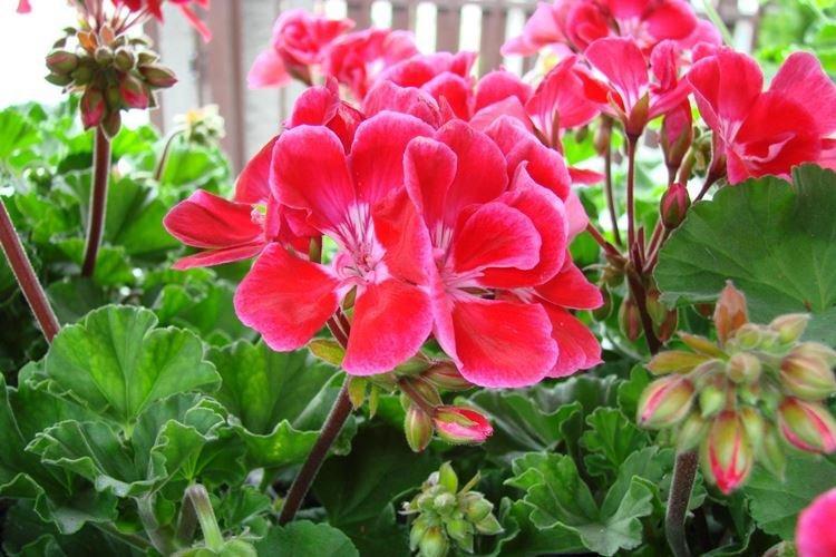 Пеларгония - Комнатные цветы, устойчивые к засухе