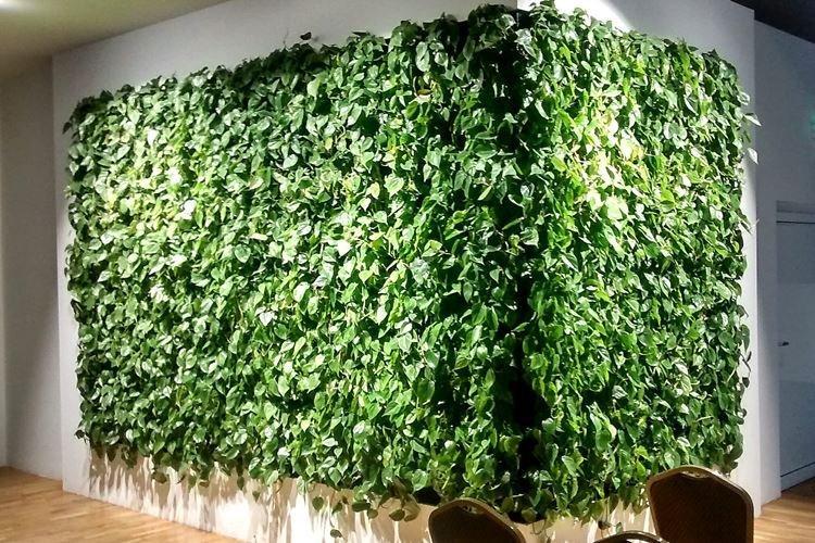 Комнатный плющ - Комнатные цветы, устойчивые к засухе