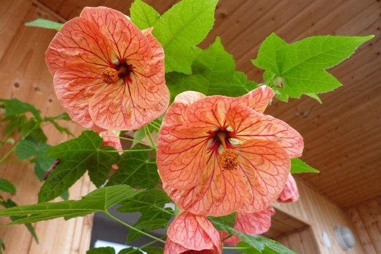 Абутилон - Комнатные цветы, цветущие круглый год