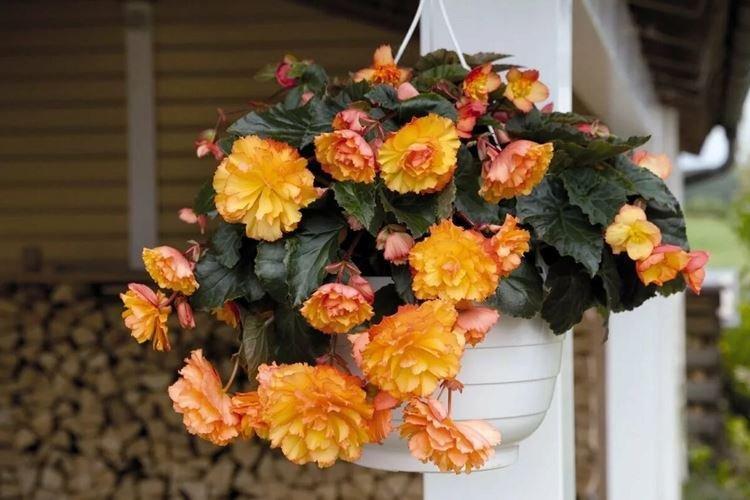 Бегония - Комнатные цветы, цветущие круглый год