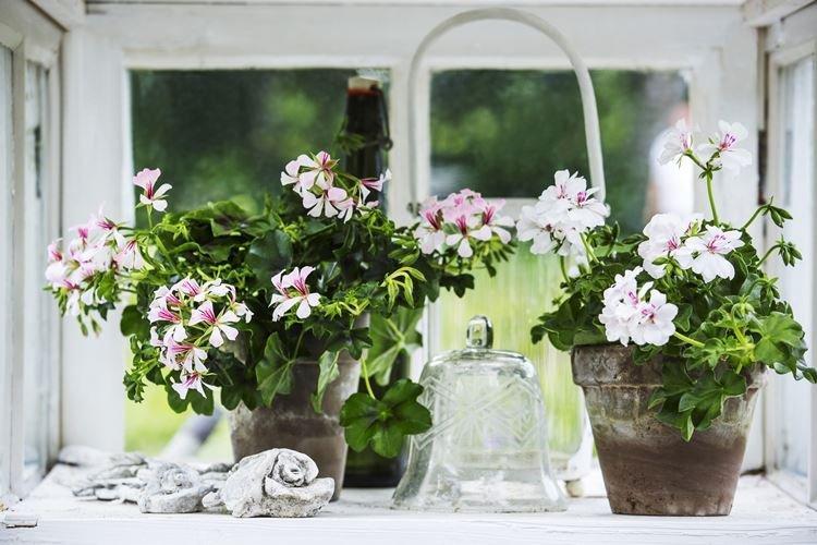 Герань - Комнатные цветы, цветущие круглый год