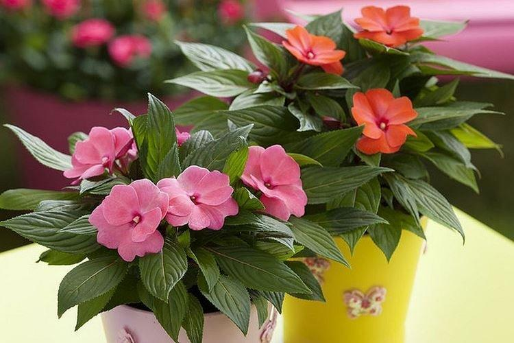 Бальзамин - Комнатные цветы, цветущие круглый год