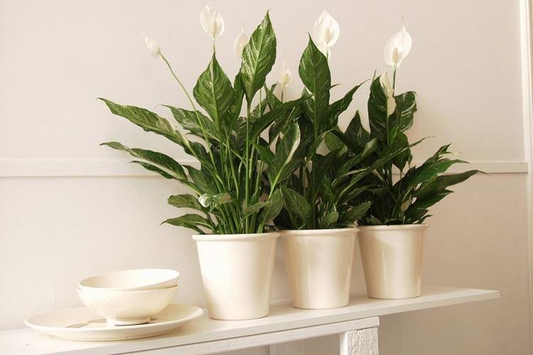 Спатифиллум - Комнатные цветы для детей