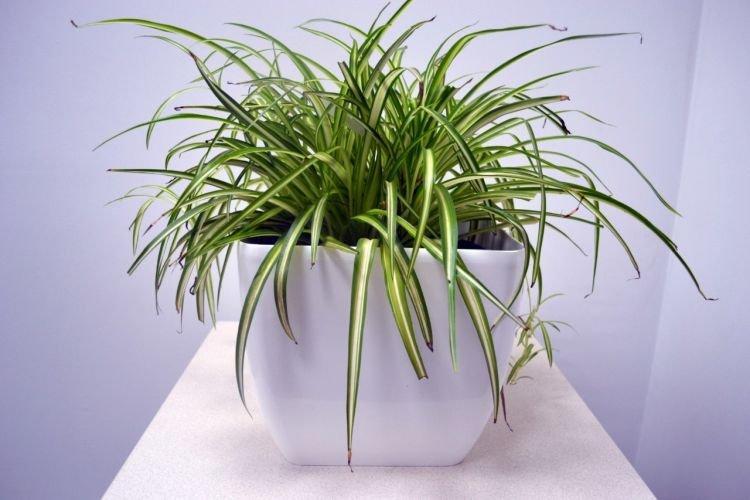 Хлорофитум - Комнатные цветы которые должны быть в каждом доме