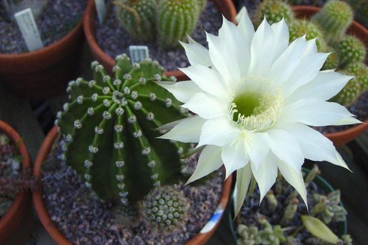 Эхинопсис - Комнатные цветы которые должны быть в каждом доме