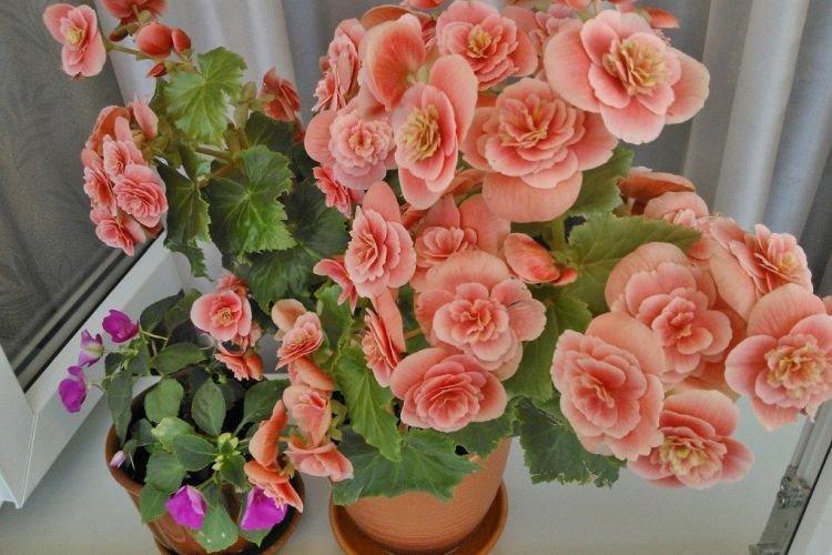 Бегония - Комнатные цветы которые должны быть в каждом доме