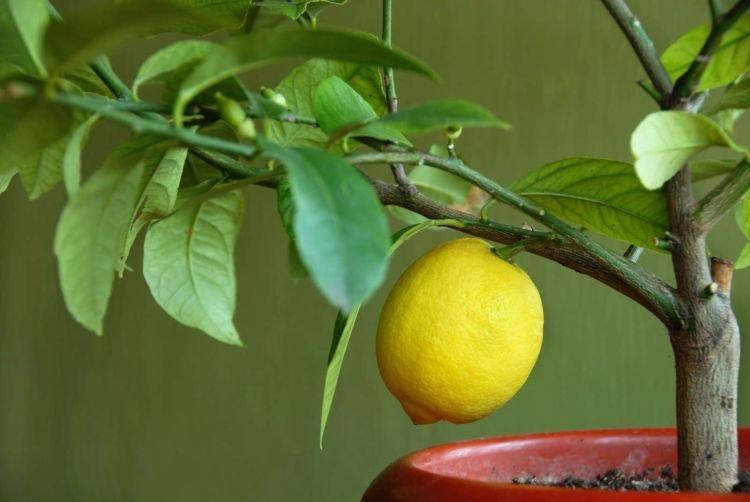 Лимонное дерево - Комнатные цветы которые должны быть в каждом доме
