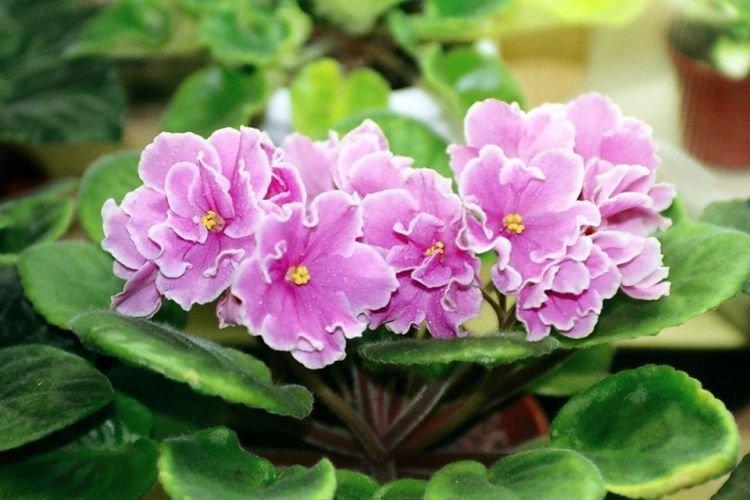 Фиалка - Комнатные цветы которые должны быть в каждом доме