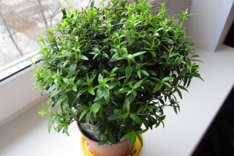 Мирт - Комнатные цветы которые должны быть в каждом доме