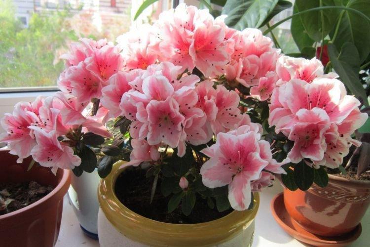 Азалия - Комнатные цветы которые должны быть в каждом доме