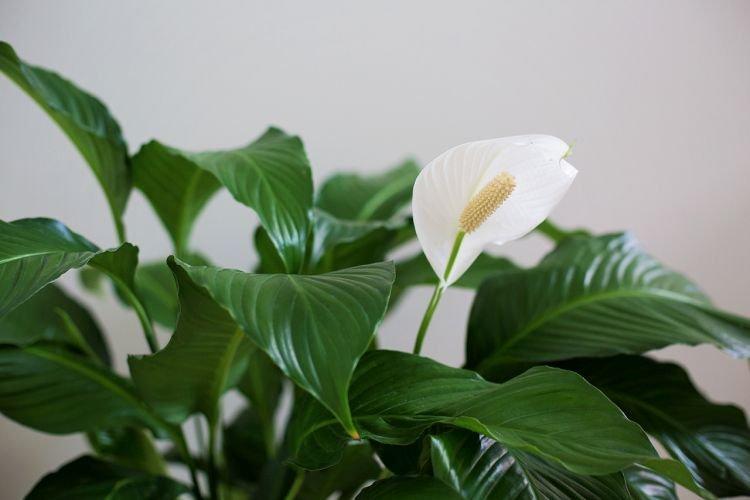 Спатифиллум - Комнатные цветы которые должны быть в каждом доме