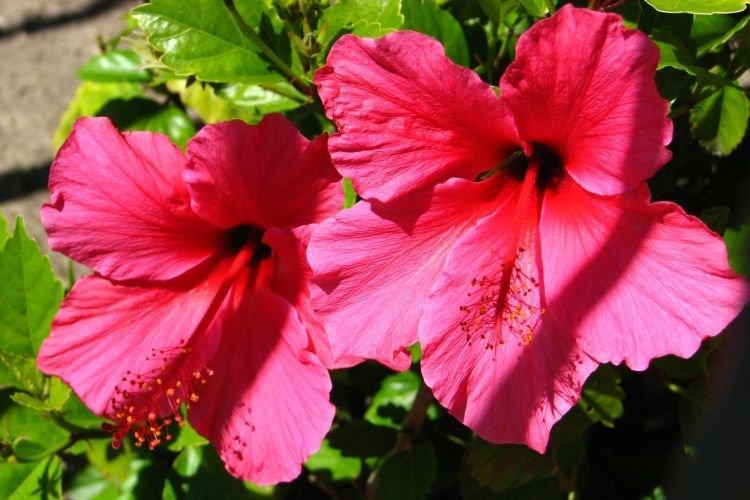 Китайская роза - Комнатные цветы которые должны быть в каждом доме