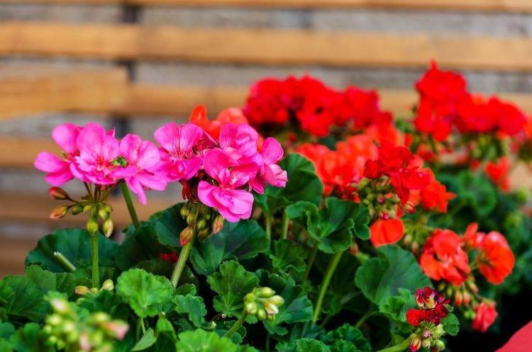 Герань - Комнатные цветы которые должны быть в каждом доме