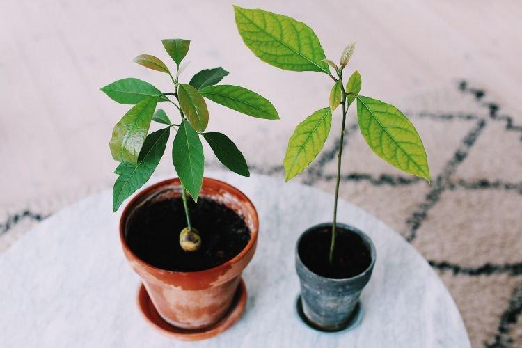 Авокадо - Комнатные цветы которые должны быть в каждом доме