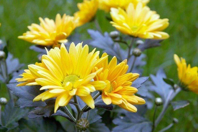 Шису - Поздние сорта хризантем