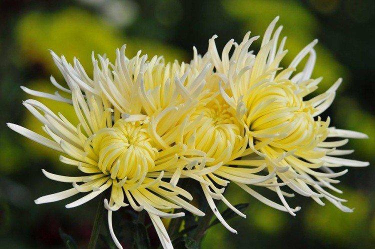 Луйона - Поздние сорта хризантем