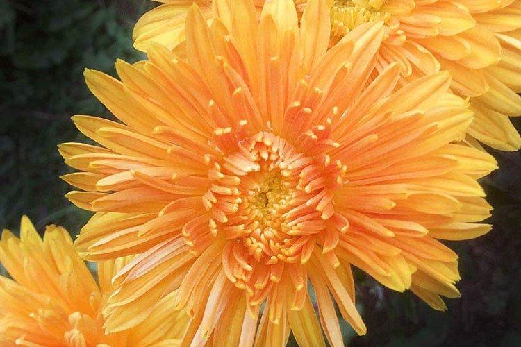 Медальон - Поздние сорта хризантем