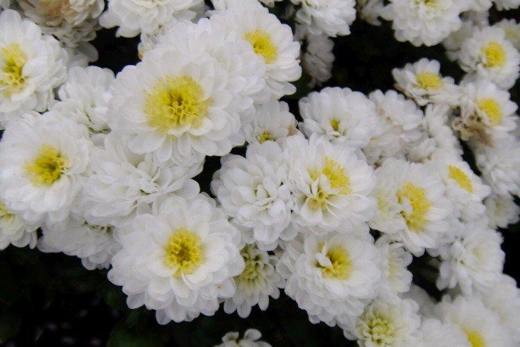 Эльф - Поздние сорта хризантем