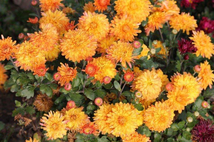 Золотой дукат - Лучшие сорта хризантем для Ленинградской области