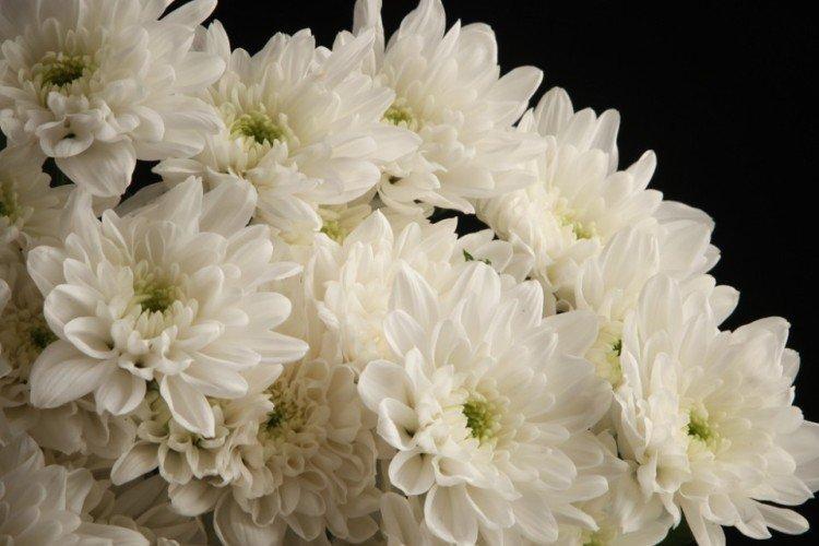 Балтика - Лучшие сорта хризантем для Ленинградской области