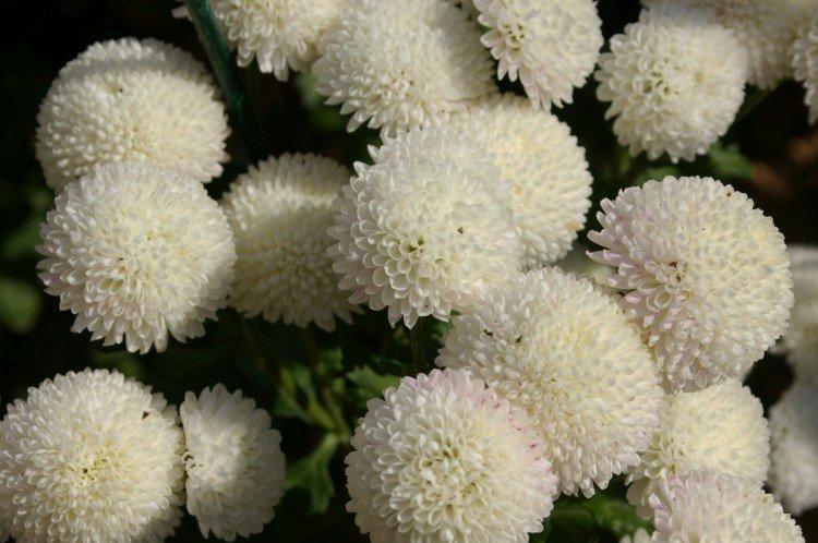 Снежный шар - Лучшие сорта хризантем для Ленинградской области