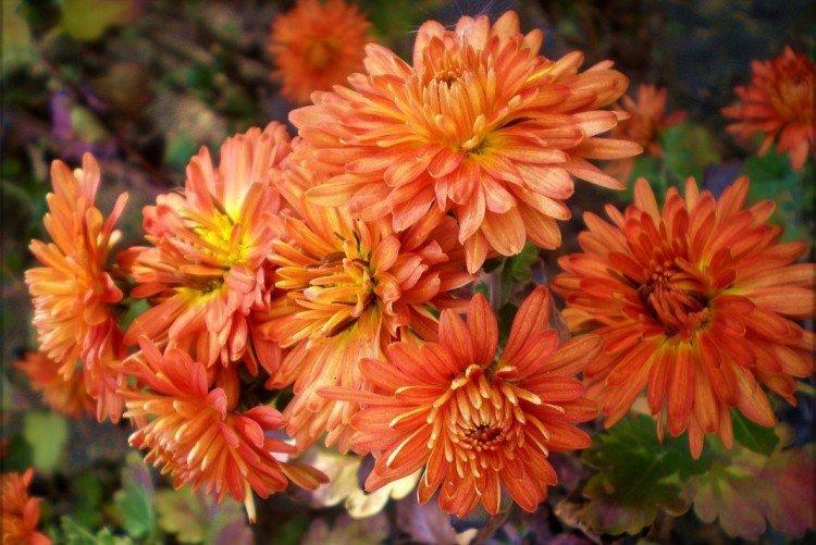 Дубок - Лучшие сорта хризантем для Ленинградской области