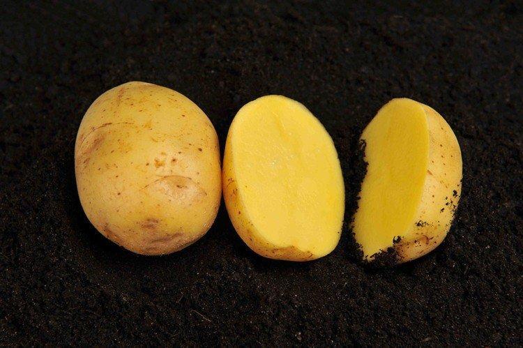 Вега - Ранние сорта картофеля