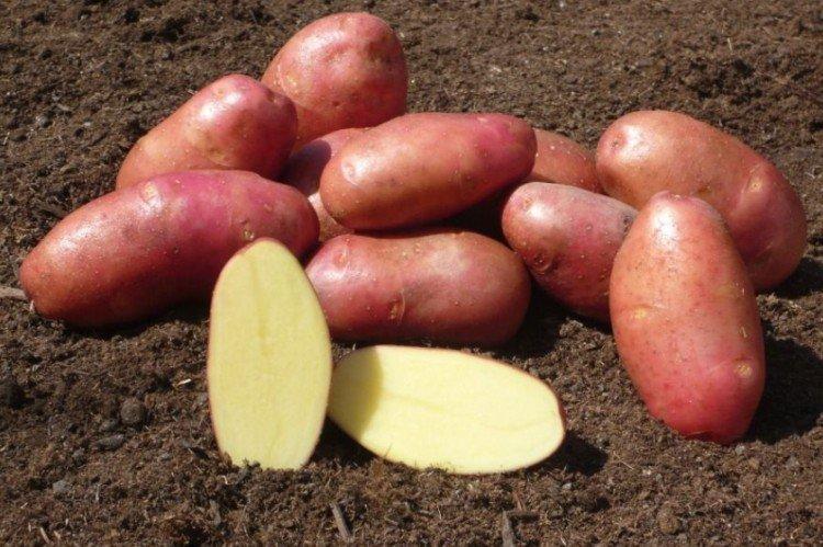 Ред Скарлетт - Среднеспелые сорта картофеля