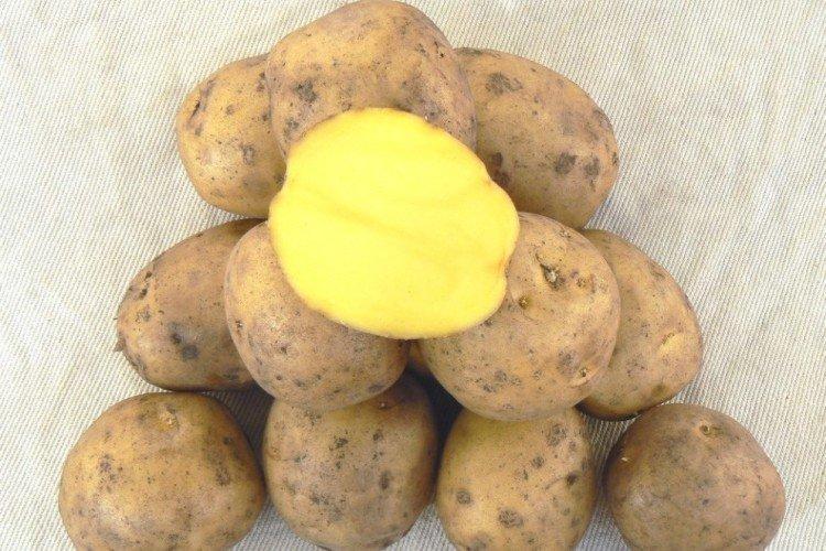 Гала - Среднеспелые сорта картофеля