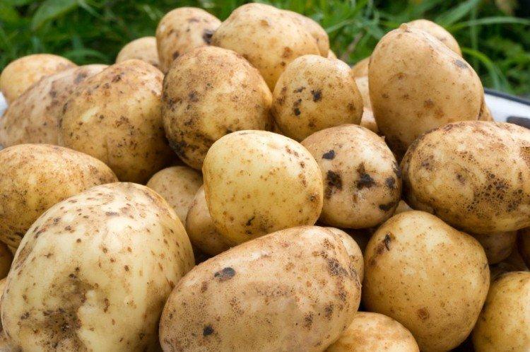 Сантэ - Среднеспелые сорта картофеля