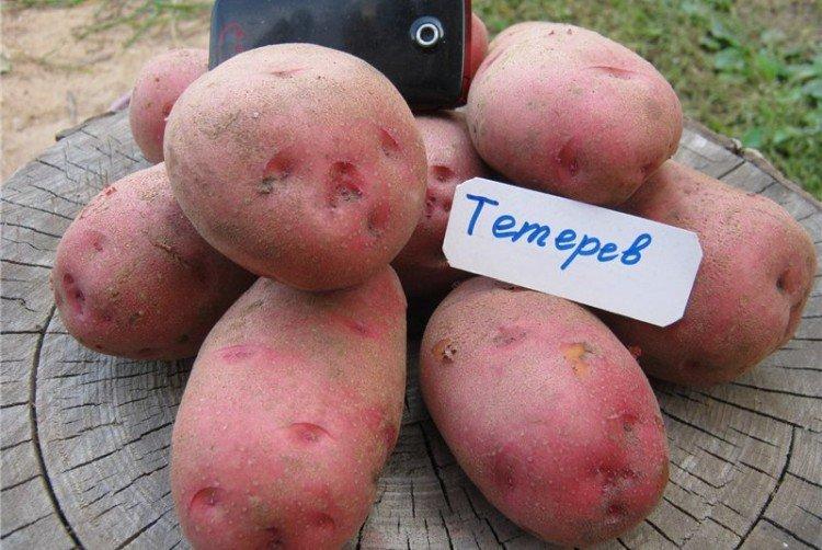 Тетерев - Поздние сорта картофеля