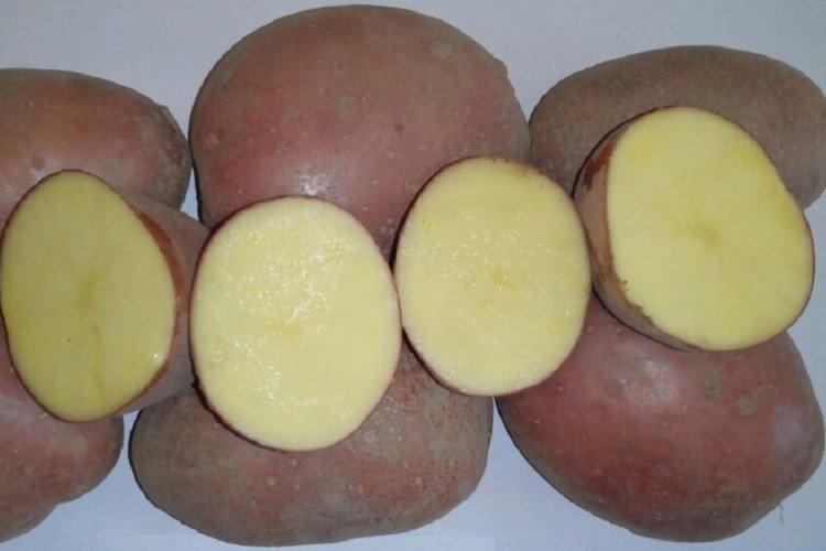 Маниту - Поздние сорта картофеля