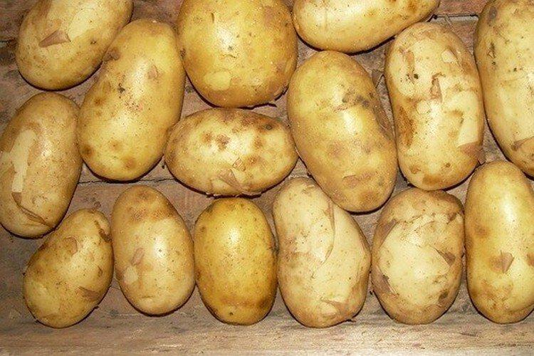 Весна белая - Лучшие сорта картофеля для Ленинградской области