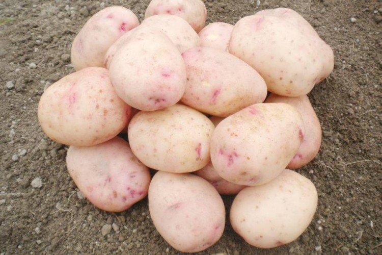 Аврора - Лучшие сорта картофеля для Ленинградской области