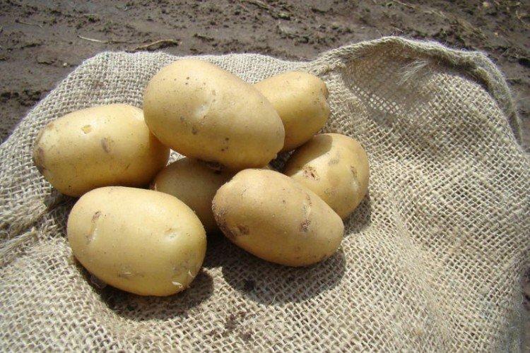 Наяда - Лучшие сорта картофеля для Ленинградской области