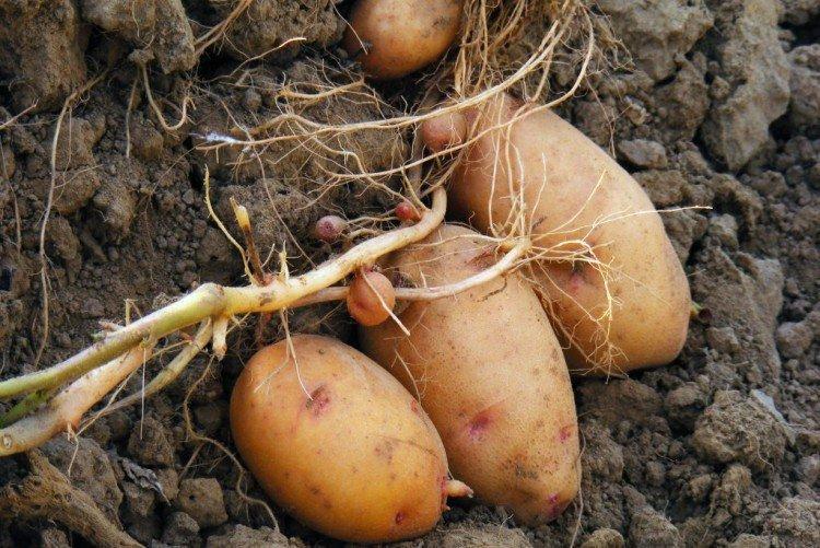 Лапоть - Российские сорта картофеля