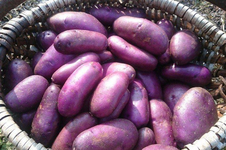 Цыганка - Российские сорта картофеля