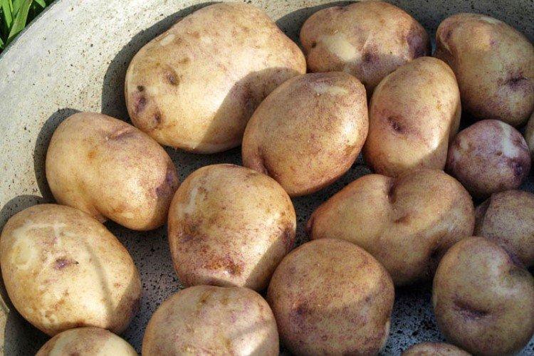 Синеглазка - Российские сорта картофеля