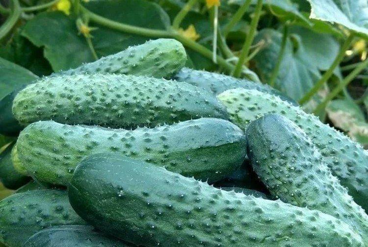 Урожайный блик - Сорта огурцов для теплиц из поликарбоната