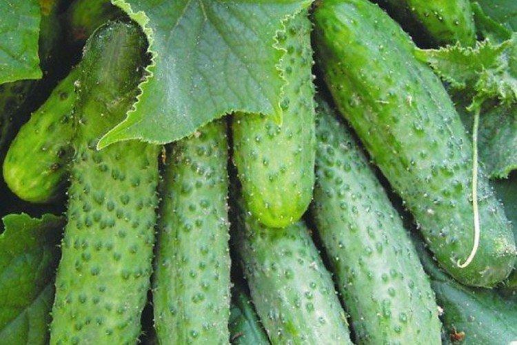Глафира - Сорта огурцов для теплиц из поликарбоната