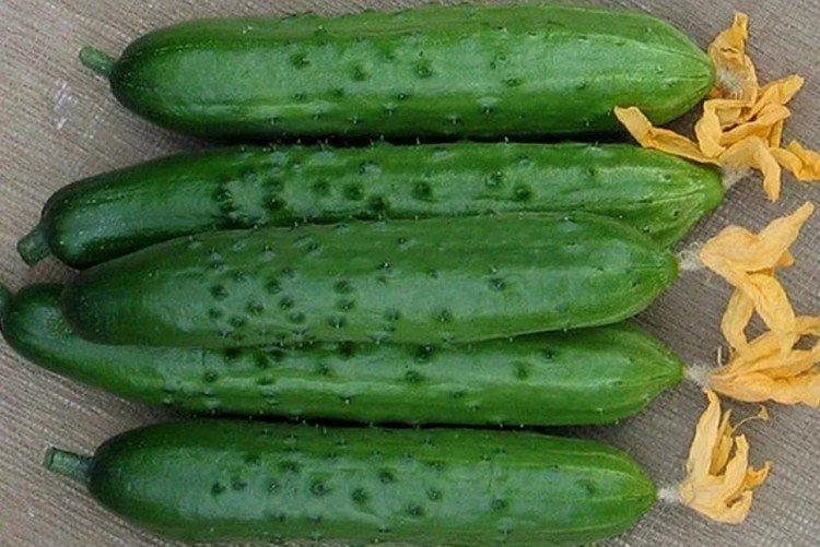 Зозуля - Сорта огурцов для парников и пленочных теплиц