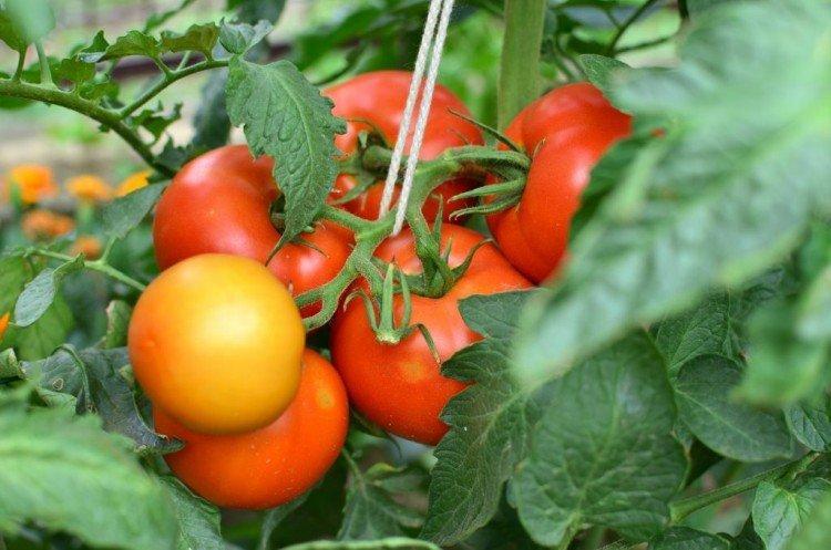Верлиока - Самые высокоурожайные сорта томатов для Подмосковья