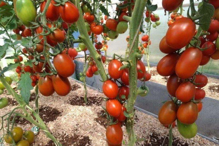 Де Барао - Самые высокоурожайные сорта томатов для Подмосковья